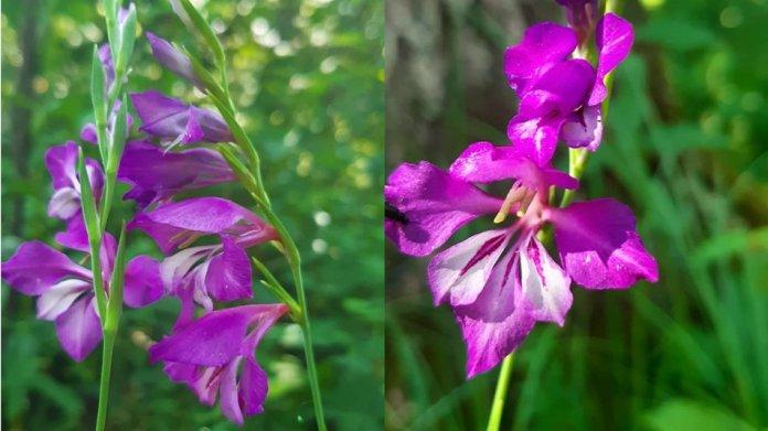 В Волынской области цветут исчезающие растения