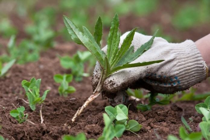 Находим грядки для овощей по сорнякам