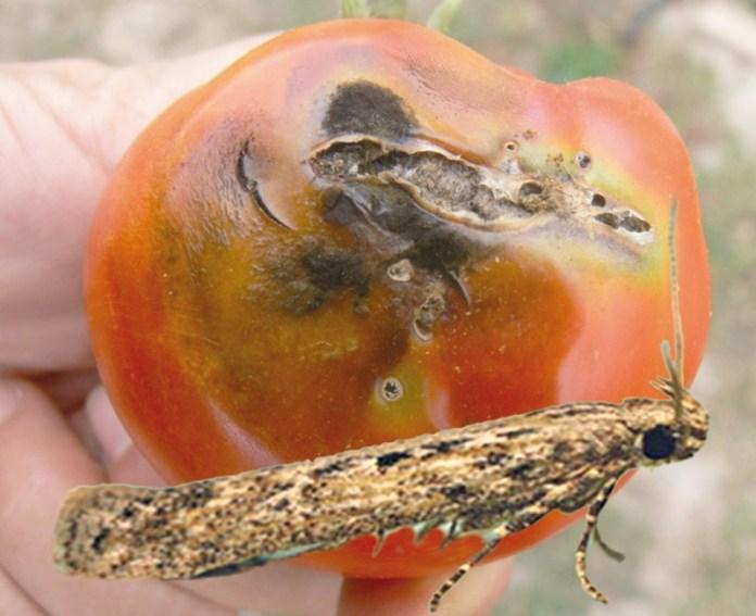 Томатна міль - шкідник №1 пасльонових: ефективні методи боротьби