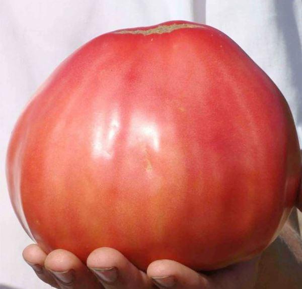 """Томат """"Тяжелее всех"""" дает килограммовые плоды"""