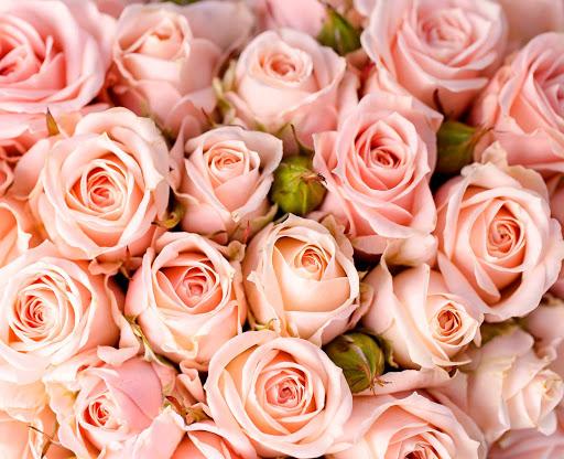 роза поврежденная трипсом