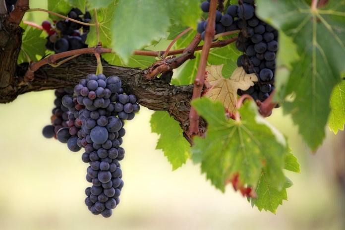 Виноградари Одесской области просят помощи