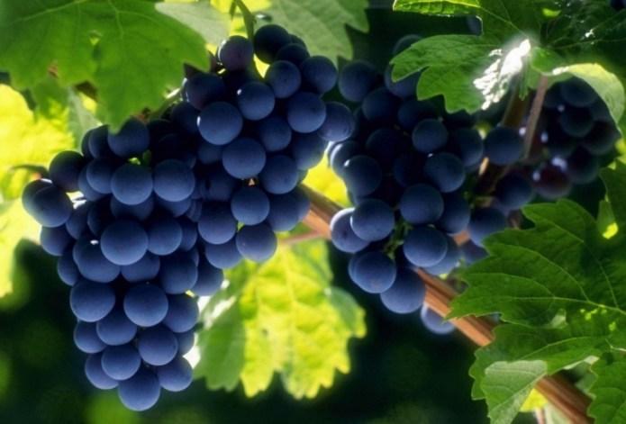 В Украине катастрофически сократились площади под виноградом