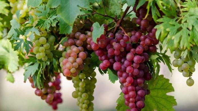 Зачем винограду перегной