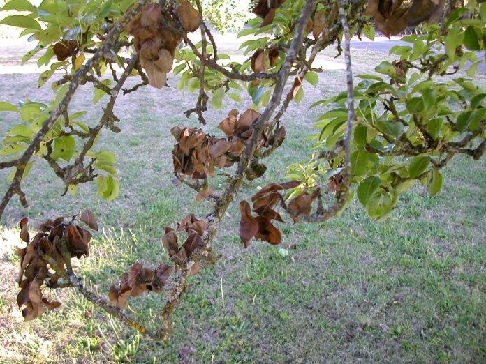 яблоня сохнет