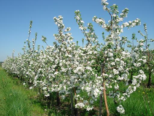 Итальянская обрезка яблонь повышает товарные качества плодов