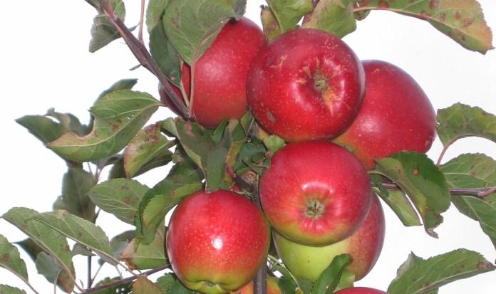 Названы украинские сорта яблони, которые не поражаются мучнистой росой и паршой