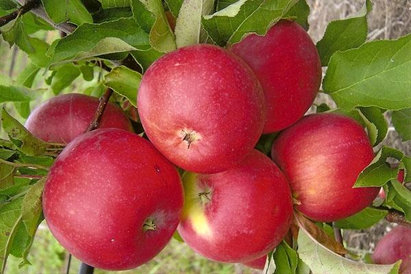 Эксперт подсказал, какие сорта яблони посадить в промышленном саду