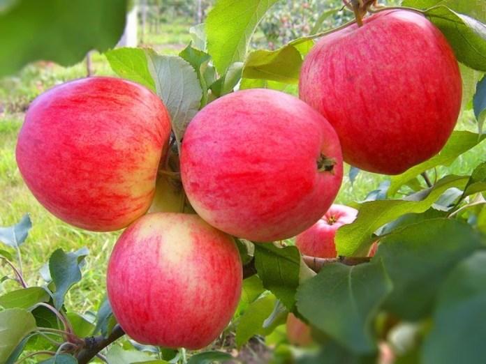 В чем заключается уход за яблоней?
