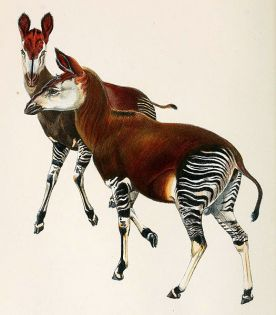 turn of the century drawing of the Okapi by Sir Harry Johnston