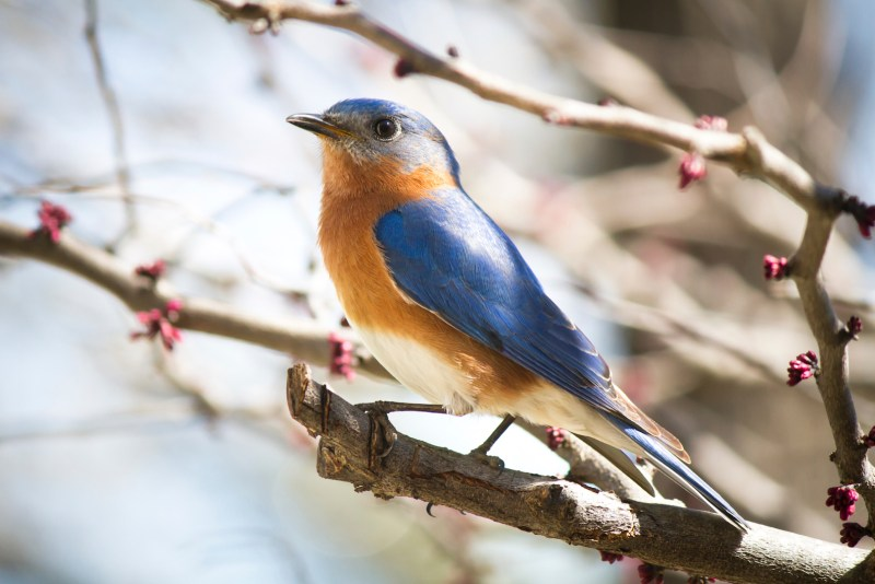 Georgetown Bluebird by Ken Brennan