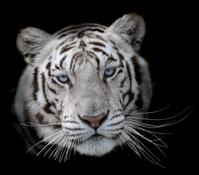Eyes of the White Tiger by Randy Dykstra