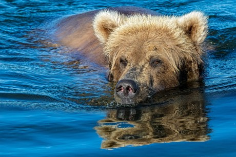 Bear Swim by Stephen Brkich