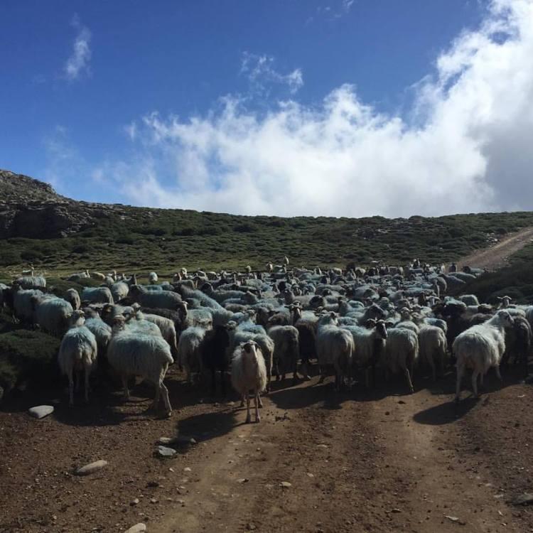 Owce i kozy są częścią krajobrazu Krety. Fot. Violetta Domaradzka