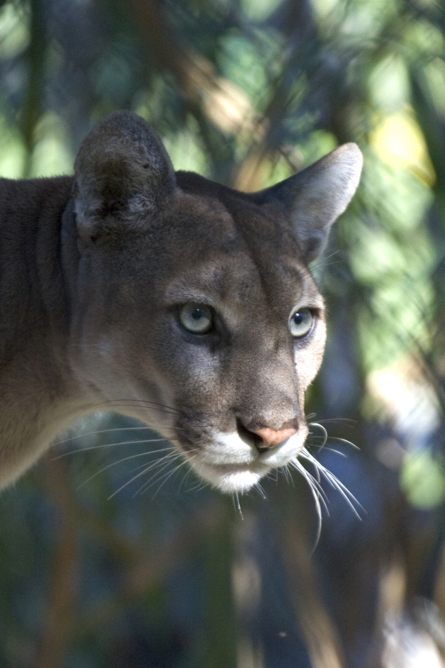 """photo: """"Everglades National Park Florida Panther"""" by National Park Service Photo by Rodney Cammauf - U.S. National Park Service, Everglades National Park. Licensed under Public Domain via Commons - https://commons.wikimedia.org/wiki/File:Everglades_National_Park_Florida_Panther.jpg#/media/File:Everglades_National_Park_Florida_Panther.jpg"""