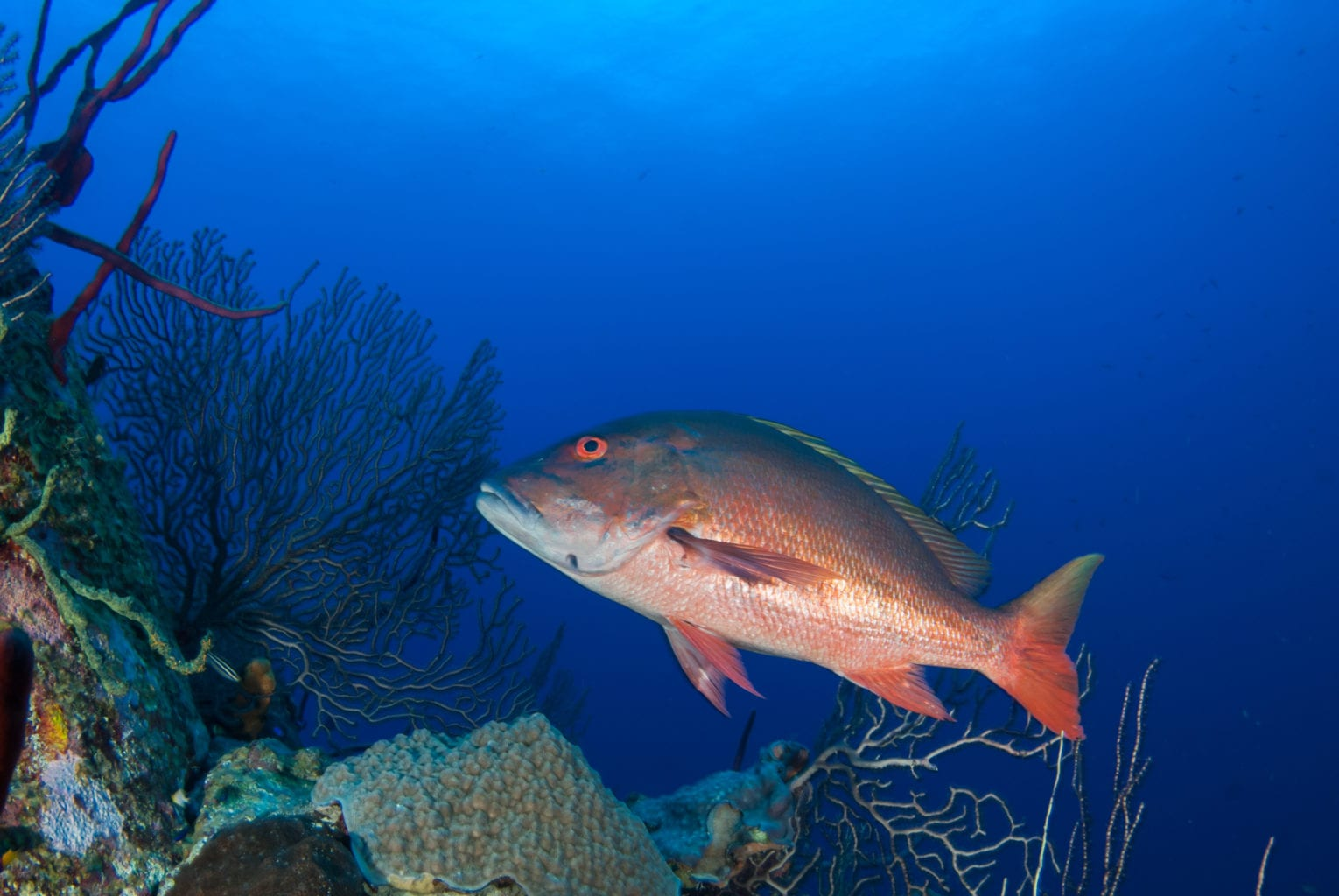 A mutton snapper cruises through the deep tropical blue caribbean sea in grand cayman. The pristine reef is home to many species and provides an ecosystem for fish and other animals.