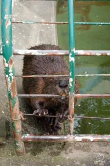 動物園にやってきました。ビーバー。