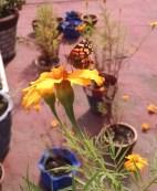 Mariposa monarca en cempasúchil