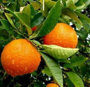 Comprar Naranja ecológica