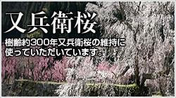 樹齢約300年又兵衛桜の維持に使用|又兵衛桜