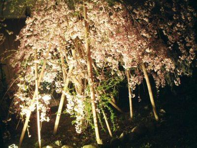 吉野山夜桜