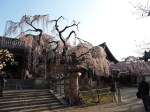 氷室神社桜