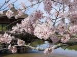 奈良公園桜