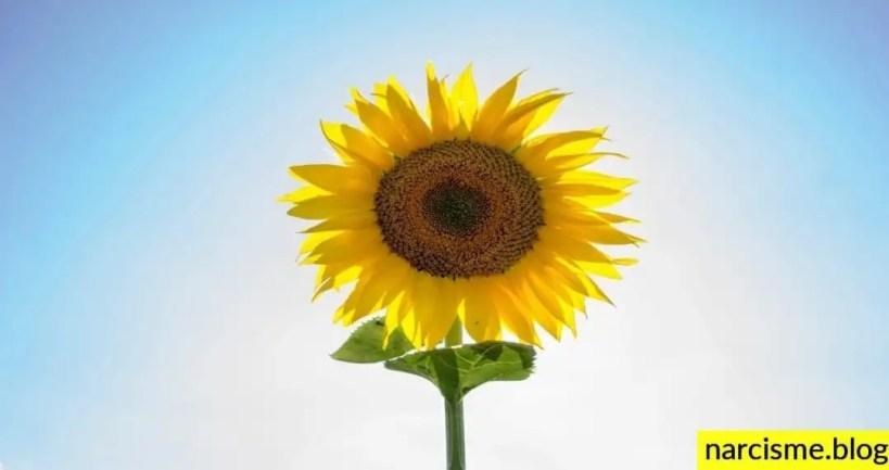 zonnebloem in de blauwe lucht voor omgaan met de lieve gewelddadige narcist
