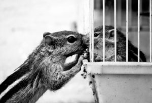 squirrels--mother kissing her caged baby through the bars