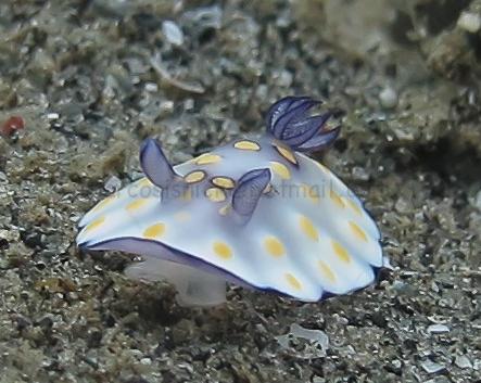 Diving Indonesia - Nudi
