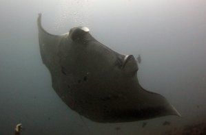 Diving Africa - Manta - Tofo