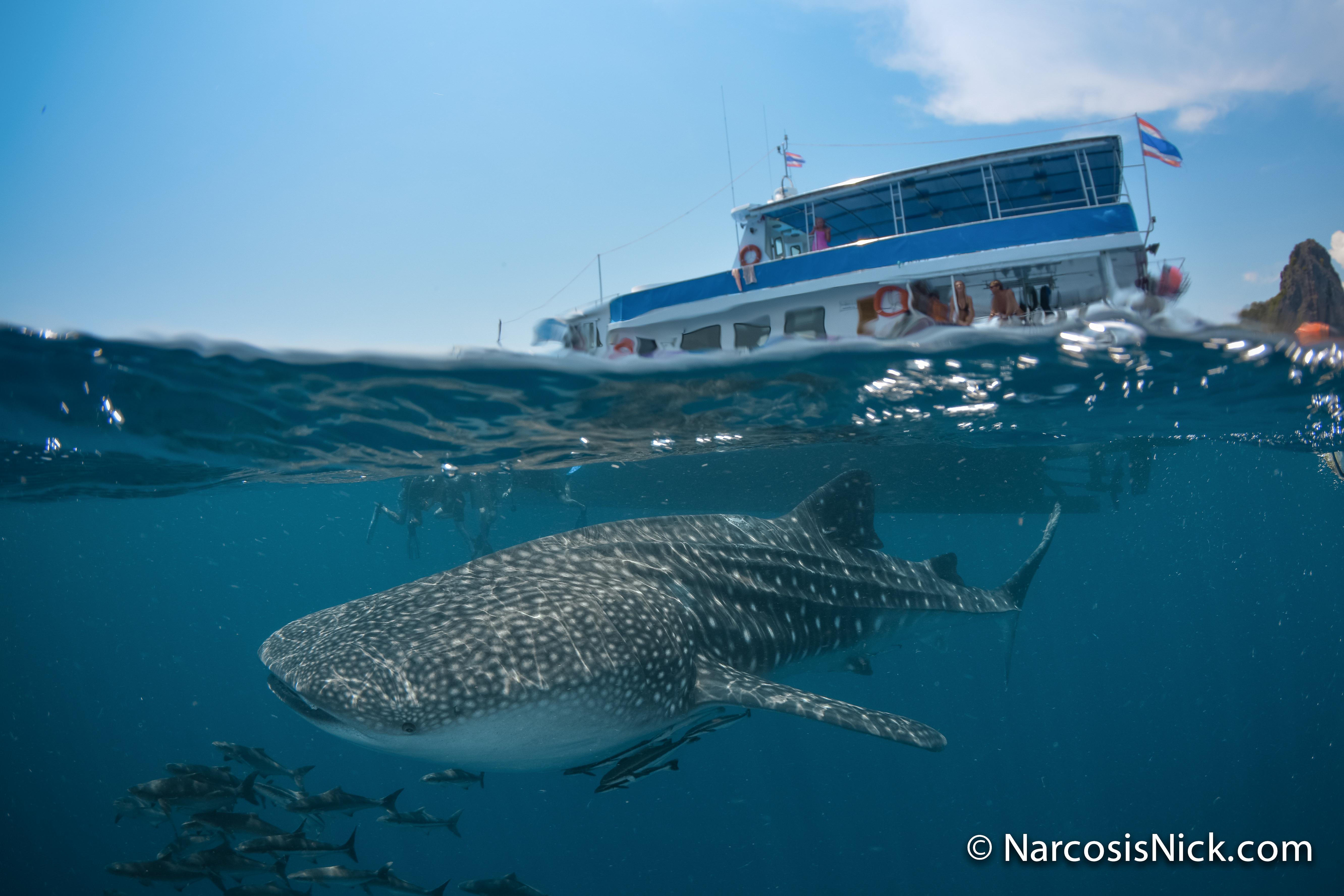 Diving Koh Lanta - - Whaleshark - split shot