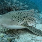 Diving Phi Phi - Leopard Shark