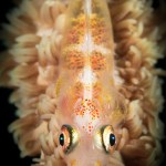 Underwater Photography Courses - Whip Coral Goby