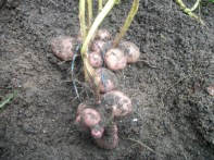 Irish potato (Chieftain variety) grown in shade house (Mon Repos)