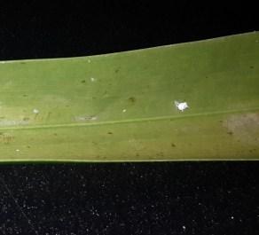Feeding of Lacewing larvae