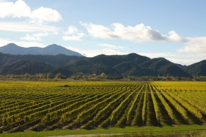 Wine Vineyards Near Marlborough Sounds Region Blenheim New Zealand