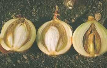 Болезни репчатого лука и их лечение. Болезни лука: описание и лечение народными средствами