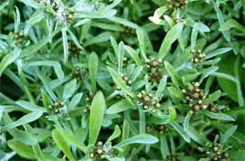 Травы и чаи в гинекологии: что пить женщине для лечения