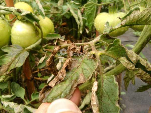 Эффективные способы лечения помидоров от фитофторы