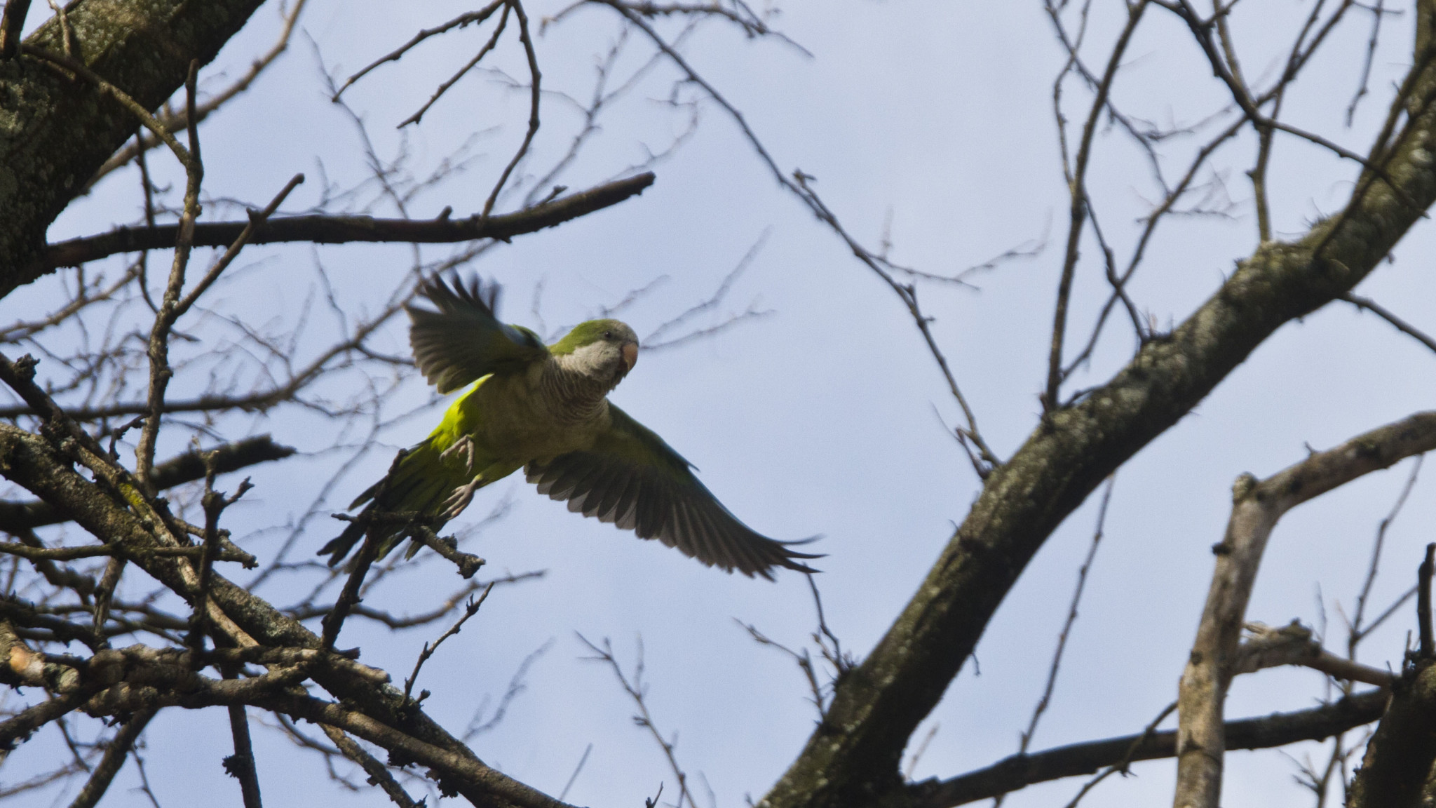The Godfather Of Brooklyn's Feral Parrot Colony