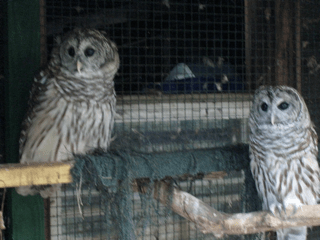 Two rescue owls in the Adirondacks