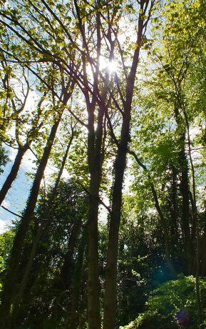 Tring trees