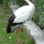 コウノトリを千葉県野田市で放鳥、野生化を目指す