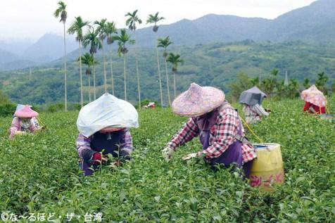2. 熟練の技により、迅速に茶葉を摘んでいく。