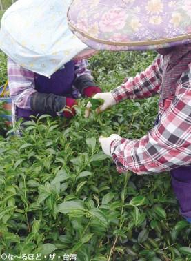5. ウンカに噛まれた茶葉はシワシワとなっており、見た目も独特。