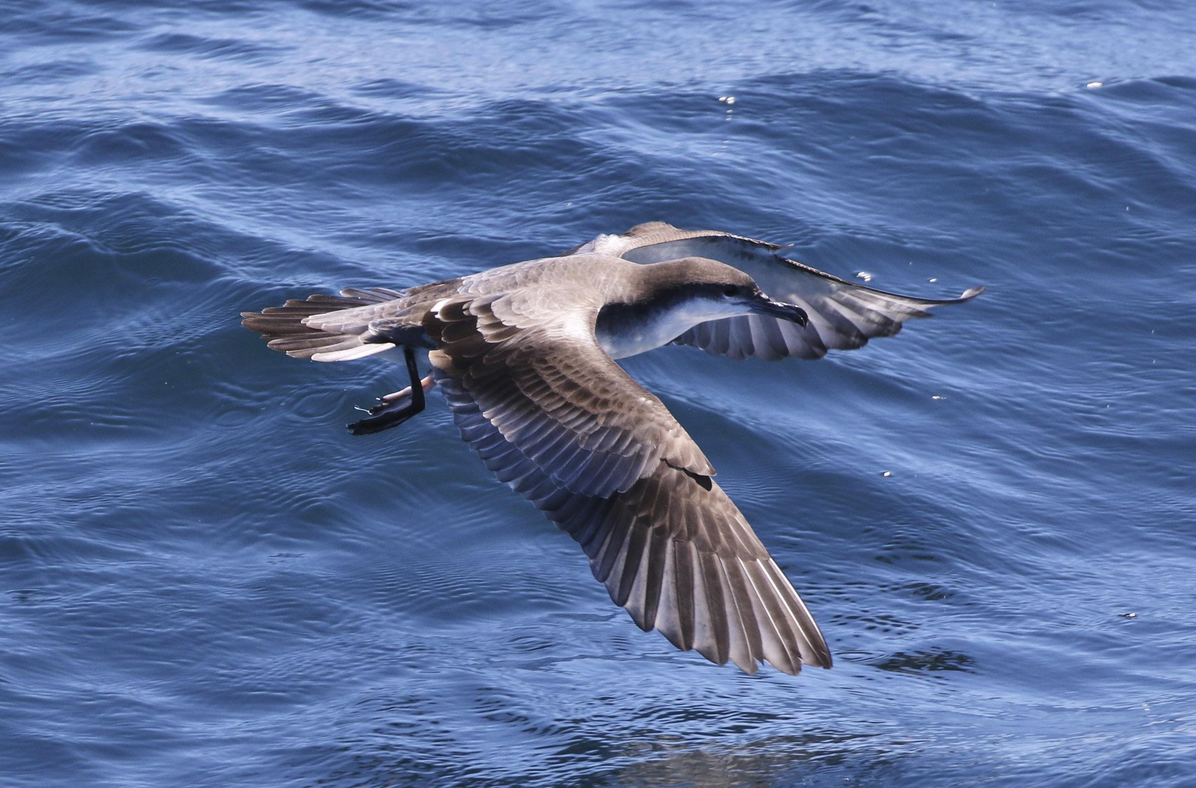 Buller's Shearwater | Audubon Field Guide