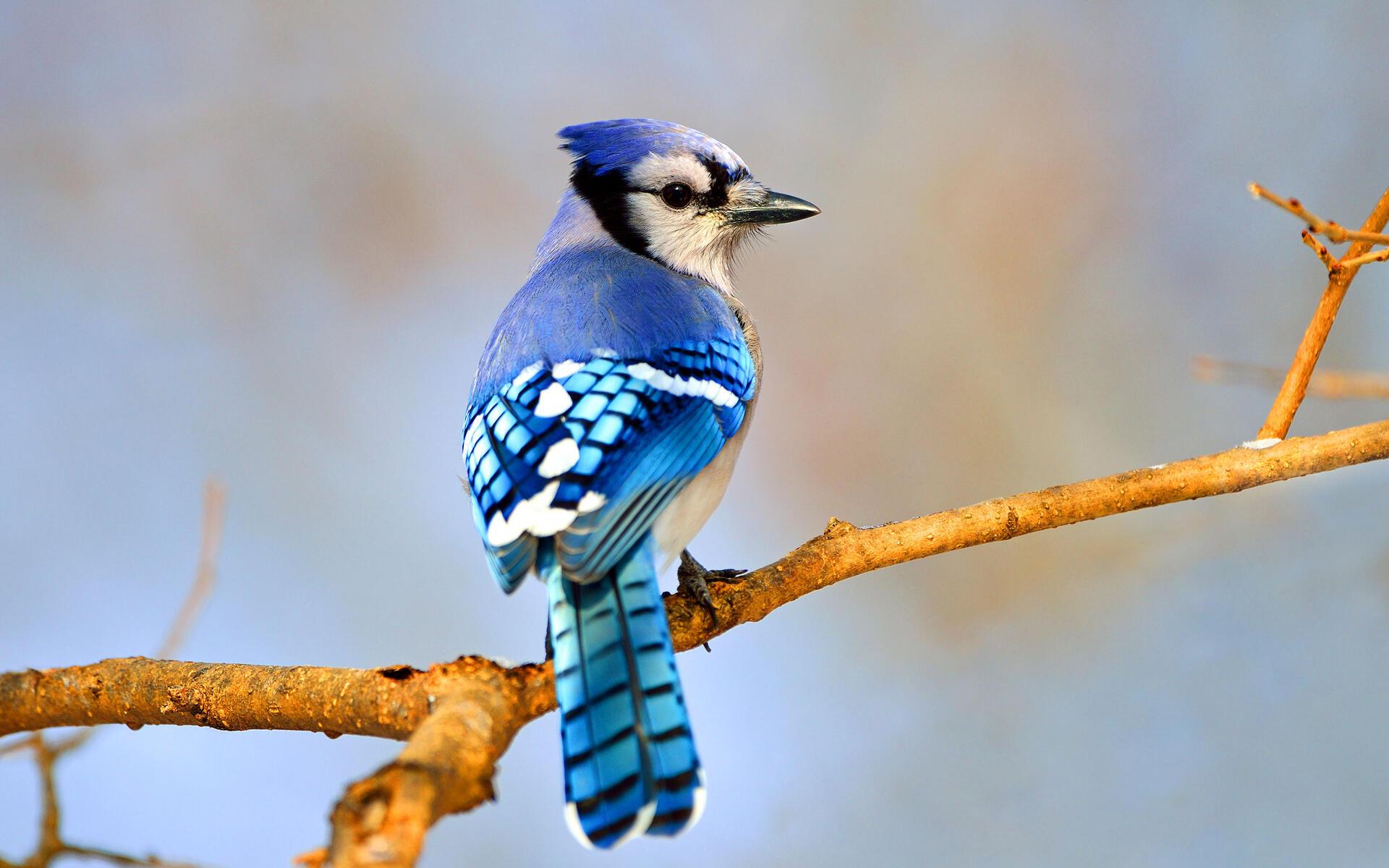Blue Jay Audubon Field Guide