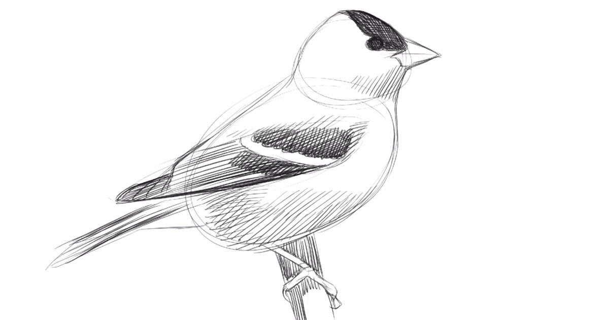 Learn To Draw Birds With David Sibley Audubon