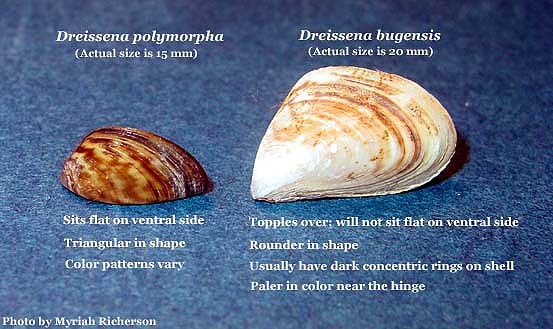 Zebra mussel, and quagga mussel on the right